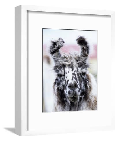 Portrait of a Llama, Estancia Rio Penitente, Near Punta Arenas, Patagonia-Holger Leue-Framed Art Print