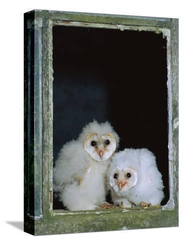 Barn Owl Chicks in Window Cornwall, UK-Ross Hoddinott-Stretched Canvas Print