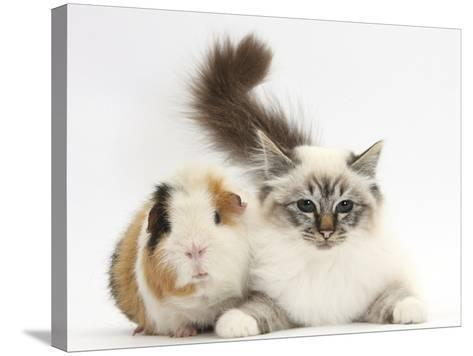 Tabby Point Birman Cat and Guinea Pig, Gyzmo-Mark Taylor-Stretched Canvas Print