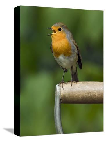Robin Sitting on a Garden Fork Handle Singing, Hertfordshire, England, UK-Andy Sands-Stretched Canvas Print