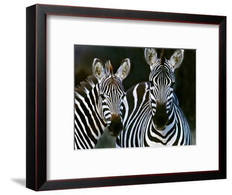 Zebras Africa--Framed Art Print