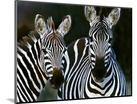 Zebras Africa--Mounted Photographic Print