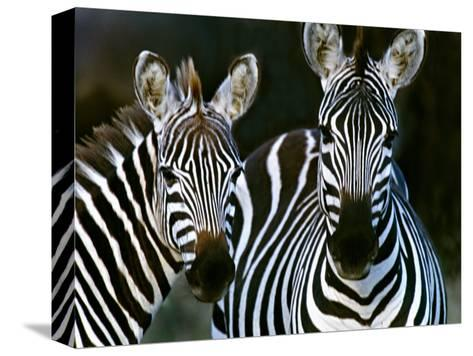 Zebras Africa--Stretched Canvas Print