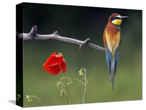 European Bee-Eater (Merops Apiaster) Perched Beside Poppy Flower, Pusztaszer, Hungary, May 2008-Varesvuo-Stretched Canvas Print