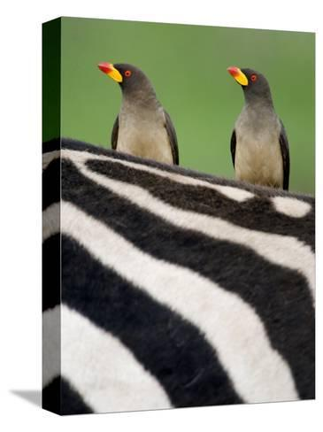Yellow-Billed Oxpeckers on Top of a Zebra, Ngorongoro Crater, Ngorongoro, Tanzania--Stretched Canvas Print