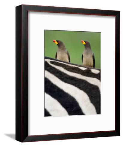 Yellow-Billed Oxpeckers on Top of a Zebra, Ngorongoro Crater, Ngorongoro, Tanzania--Framed Art Print