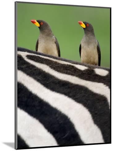 Yellow-Billed Oxpeckers on Top of a Zebra, Ngorongoro Crater, Ngorongoro, Tanzania--Mounted Photographic Print