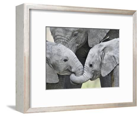 African Elephant Calves (Loxodonta Africana) Holding Trunks, Tanzania--Framed Art Print