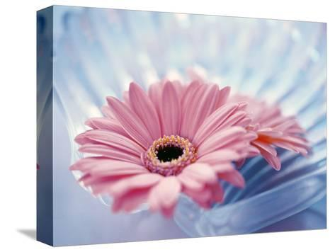 Close Up of Two Pink Gerbera Daisies in Water Ripples--Stretched Canvas Print
