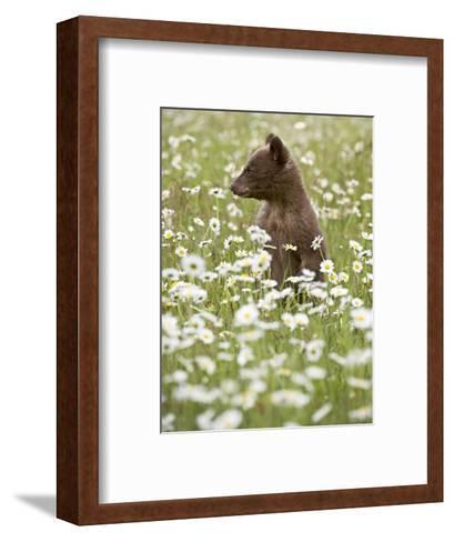 Black Bear Cub Among Oxeye Daisy, in Captivity, Sandstone, Minnesota, USA-James Hager-Framed Art Print