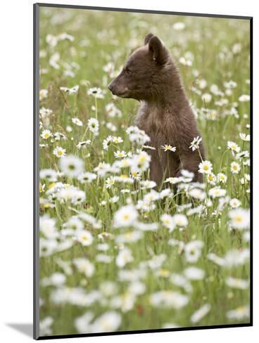 Black Bear Cub Among Oxeye Daisy, in Captivity, Sandstone, Minnesota, USA-James Hager-Mounted Photographic Print