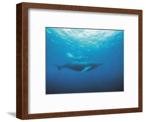 Whales Swimming in Sea--Framed Art Print