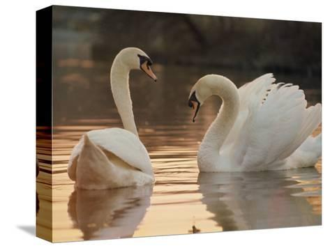 Two Swans on Water-Robert Harding-Stretched Canvas Print