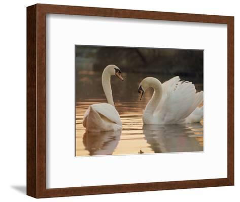 Two Swans on Water-Robert Harding-Framed Art Print