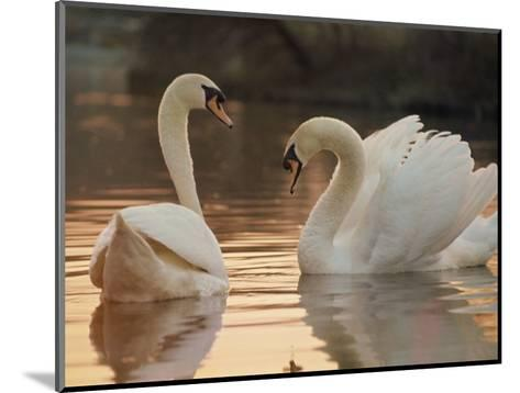 Two Swans on Water-Robert Harding-Mounted Photographic Print