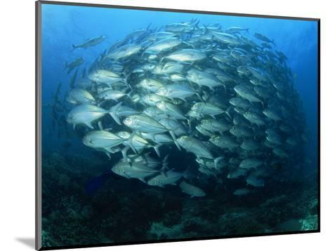 Tightly Balled School of Jack Fish, Sipadan Island, Sabah, Malaysia, Borneo, Southeast Asia-Murray Louise-Mounted Photographic Print