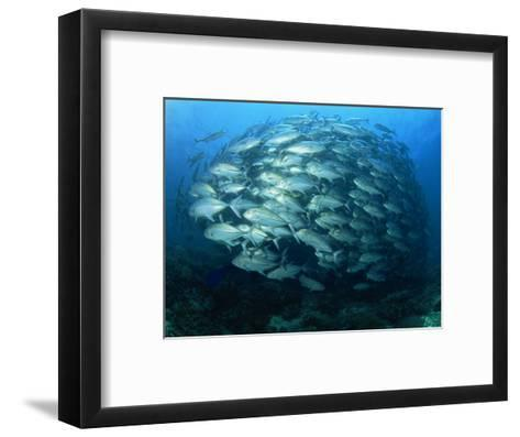 Tightly Balled School of Jack Fish, Sipadan Island, Sabah, Malaysia, Borneo, Southeast Asia-Murray Louise-Framed Art Print