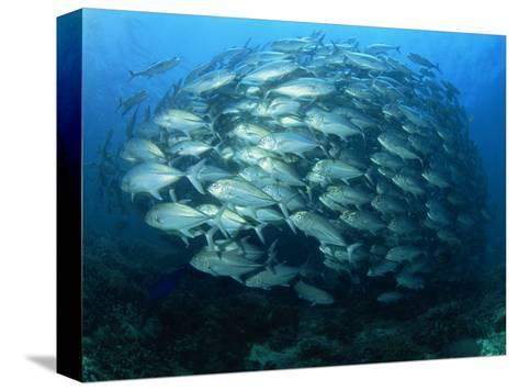 Tightly Balled School of Jack Fish, Sipadan Island, Sabah, Malaysia, Borneo, Southeast Asia-Murray Louise-Stretched Canvas Print