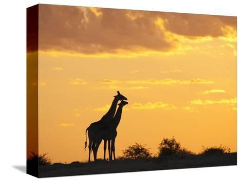 Giraffes, Silhouetted at Sunset, Etosha National Park, Namibia, Africa-Ann & Steve Toon-Stretched Canvas Print