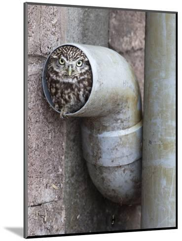 Little Owl (Athene Noctua) in Drainpipe, Captive, United Kingdom, Europe-Ann & Steve Toon-Mounted Photographic Print