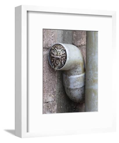 Little Owl (Athene Noctua) in Drainpipe, Captive, United Kingdom, Europe-Ann & Steve Toon-Framed Art Print