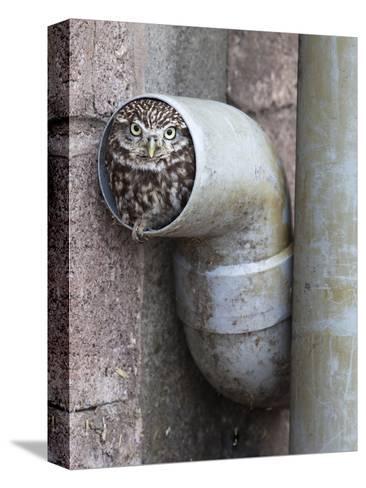 Little Owl (Athene Noctua) in Drainpipe, Captive, United Kingdom, Europe-Ann & Steve Toon-Stretched Canvas Print