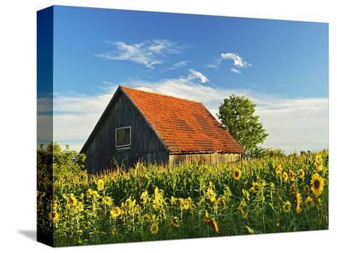 Sunflowers (Helianthus Annuus), Villingen-Schwenningen, Black Forest, Schwarzwald-Baar, Germany-Jochen Schlenker-Stretched Canvas Print