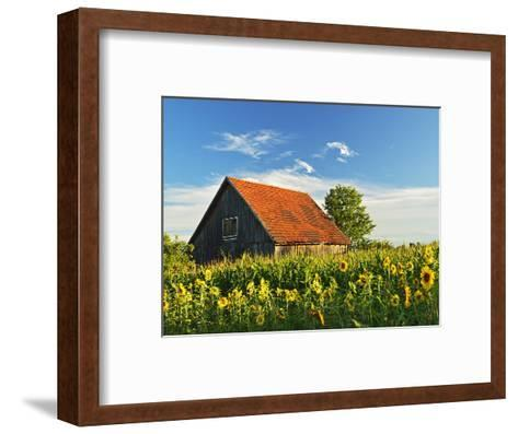 Sunflowers (Helianthus Annuus), Villingen-Schwenningen, Black Forest, Schwarzwald-Baar, Germany-Jochen Schlenker-Framed Art Print