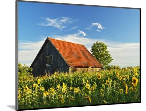Sunflowers (Helianthus Annuus), Villingen-Schwenningen, Black Forest, Schwarzwald-Baar, Germany-Jochen Schlenker-Mounted Photographic Print