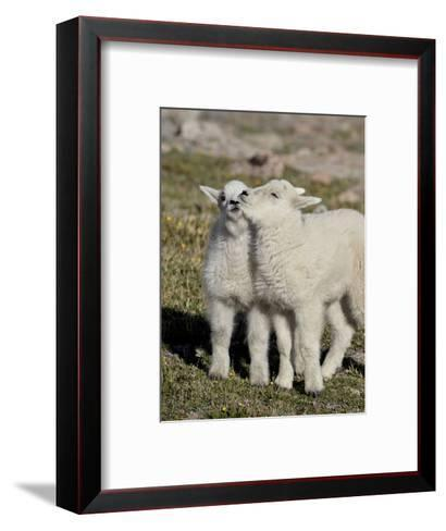 Two Mountain Goat Kids Playing, Mt Evans, Arapaho-Roosevelt Nat'l Forest, Colorado, USA-James Hager-Framed Art Print