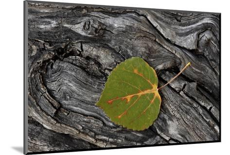 Aspen Leaf Turning Red-James Hager-Mounted Photographic Print