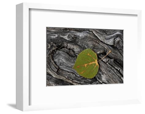 Aspen Leaf Turning Red-James Hager-Framed Art Print