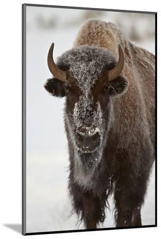 Bison (Bison Bison) Cow in the Winter-James Hager-Mounted Photographic Print