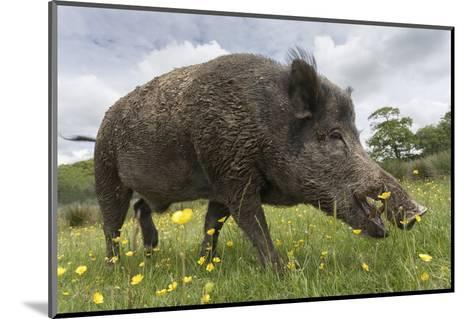 Wild Boar (Sus Scrofa), Captive, United Kingdom, Europe-Ann and Steve Toon-Mounted Photographic Print