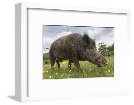 Wild Boar (Sus Scrofa), Captive, United Kingdom, Europe-Ann and Steve Toon-Framed Art Print