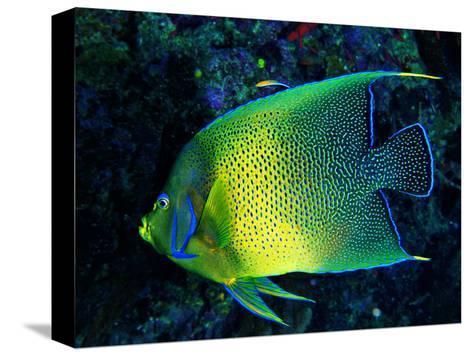Crescent Angel Fish (Pomacanthus)-Andrea Ferrari-Stretched Canvas Print