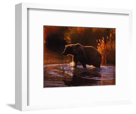 Grizzly Bear, Ursus Arctos Middendorffi, AK-D^ Robert Franz-Framed Art Print