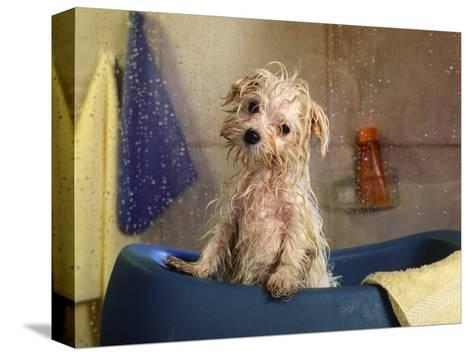 Little Wet Maltese in Bath Tub-Henryk T^ Kaiser-Stretched Canvas Print