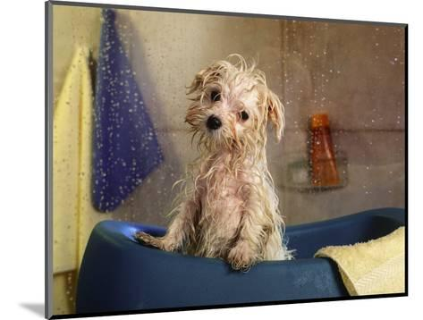 Little Wet Maltese in Bath Tub-Henryk T^ Kaiser-Mounted Photographic Print