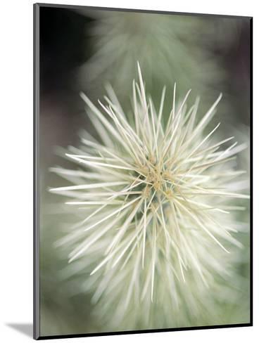 Jumping Cholla, Scotsdale, AZ-Elisa Cicinelli-Mounted Photographic Print