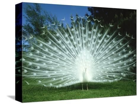 Peacock, Pavo Cristatus, White Form Displaying Tail Feathers-Mark Hamblin-Stretched Canvas Print
