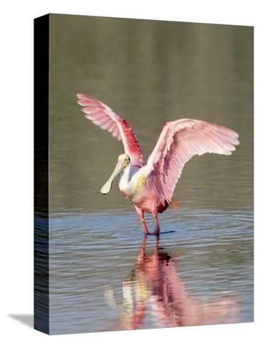 Roseate Spoonbill, Ding Darling Nwr, FL-Stan Osolinski-Stretched Canvas Print