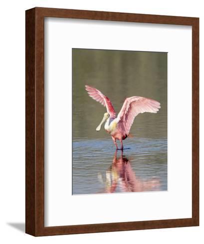 Roseate Spoonbill, Ding Darling Nwr, FL-Stan Osolinski-Framed Art Print