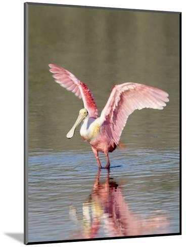Roseate Spoonbill, Ding Darling Nwr, FL-Stan Osolinski-Mounted Photographic Print