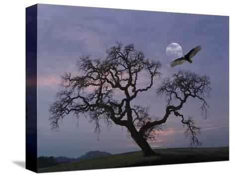 Oak Tree Silhouetted Against Cloudy Sunrise with Partially Obscured Moon and Flying Vulture-Diane Miller-Stretched Canvas Print