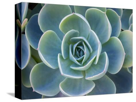 Close-Up of a Succulent Plant-Diane Miller-Stretched Canvas Print