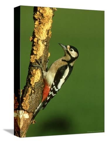 Great Spotted Woodpecker, Portrait-Mark Hamblin-Stretched Canvas Print