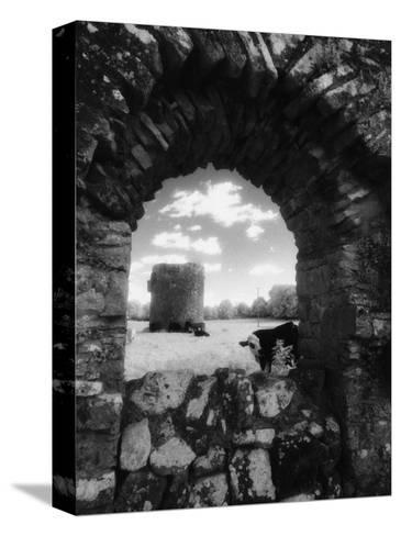 Cows, Ballybeg Abbey, Ireland-Karen Schulman-Stretched Canvas Print