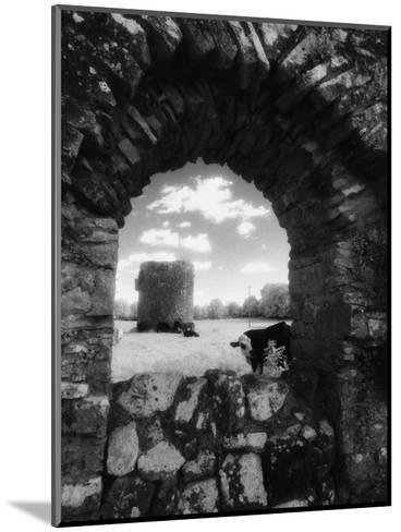 Cows, Ballybeg Abbey, Ireland-Karen Schulman-Mounted Photographic Print
