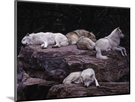 Gray Wolf, Canis Lupus-D^ Robert Franz-Mounted Photographic Print